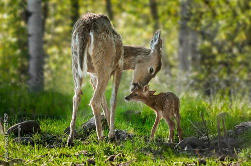 Deurstickers Hert White-Tailed Deer (Odocoileus virginianus) Licks Her Fawn