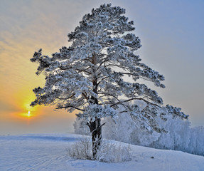 Pine tree on a snowy hill