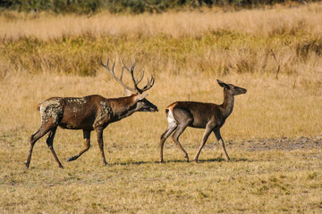 Red deer, buck and doe