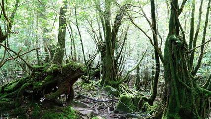 屋久島 白谷雲水峡 苔むす林