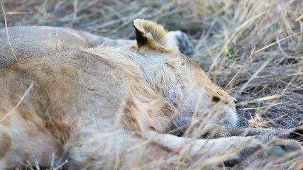 Lion cub sleeping after meal in Africa