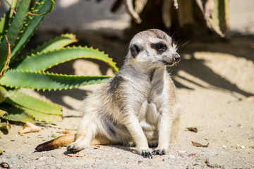 Suricato di guardia - Suricata suricatta