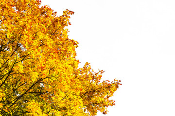 Autumn colored maple tree branches on white