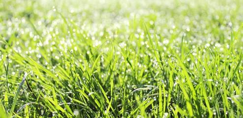 Молодая трава в утренней росе