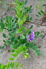 Blossoming a rank seaside (Lathyrus maritimus L.), growing on sa
