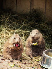 Two black-tailed prairie dogs eat fruit