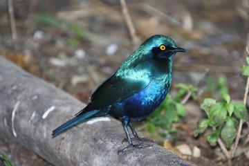 Blue African Starling, purple bird