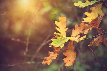 Autumnal oak branch at sunset