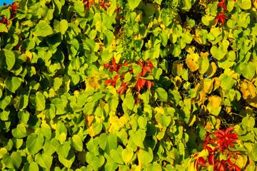 Wunderschöne rot verfärbte Weinblätter im Herbst