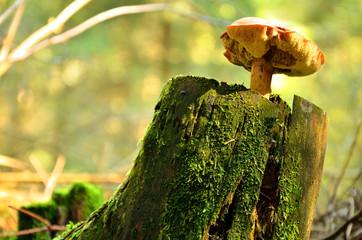 Mushroom growing from the stump
