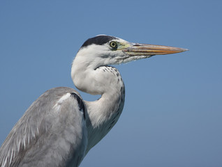 The Heron on the blue sky background, closeup