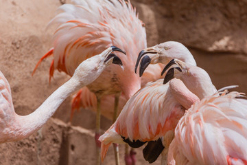 Flamingos arguing in the zoo