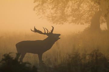 Red Deer Stag Bellowing