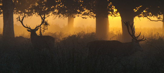Red Deer Stags at Dawn