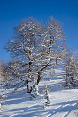 tree in winter time in Alps