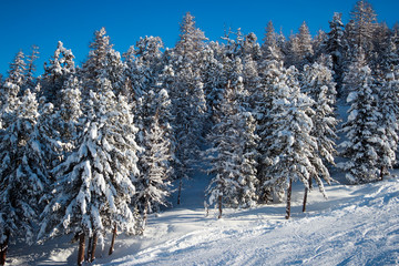 fir trees in winter time in Alps