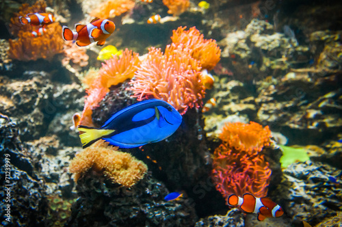 Clownfish and Blue Tang in the water with corals