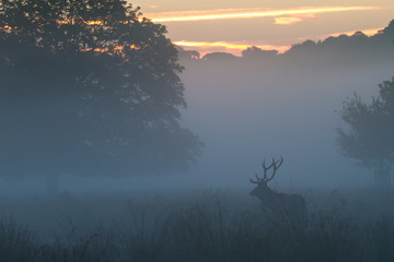 Red Deer Stag in Dawn Mist
