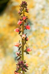 Echeveria nodulosa, Crassulaceae