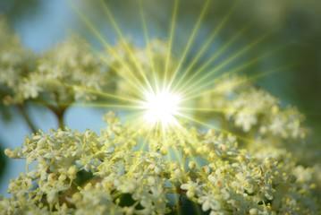 Holunderblüte mit Sonnenstrahlen