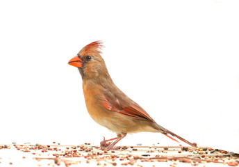 Cardinal against white background