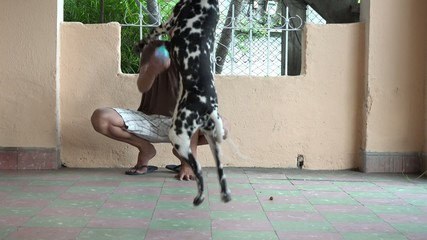 Cuban man playing with pet dog dalmatian