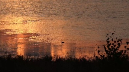 Sunset and diving duck