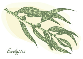 Eucalyptus leaves and fruits hand drawn vector illustration