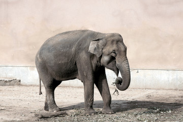 the elephant in a zoo eats a grass