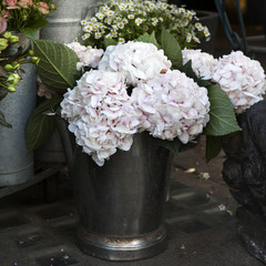White, pink  hydrangea macrophylla. Flower in flower`s shop .