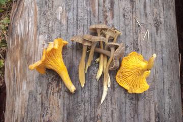 Chanterelles and yellowfoots