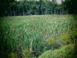 Swamp in the Berkshire Mountains of Massachusetts.