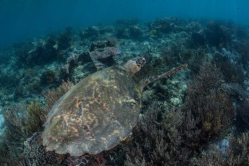 Hawksbill Sea Turtle on Reef