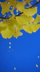 青の世界に銀杏の葉