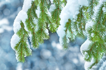 Fir-tree branches in snow