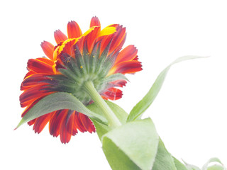 calendula on white background