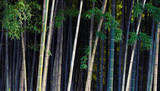 Bamboo jungle - tropical forest.