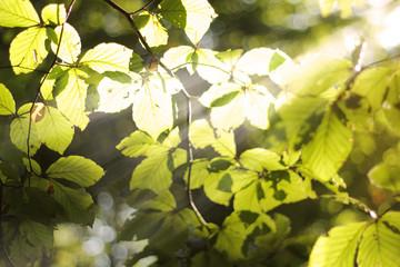 sonnenstrahlen im buchenwald