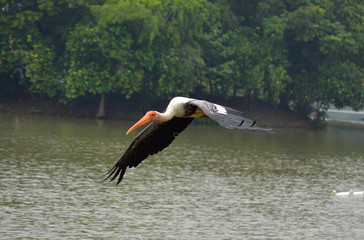 flying painted stork on water