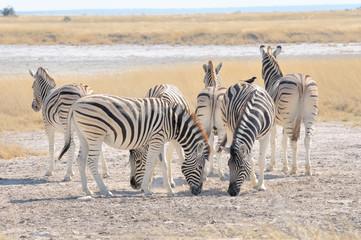 Zebras licking salt at Etosha Pan, Namibia