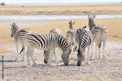 Papiers peints Zebra Zebras licking salt at Etosha Pan, Namibia