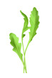 Salad rocket, vector illustration