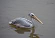 pelican water bird swimming at lake