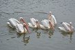 a group of pelican water birds swimming in lake