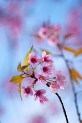 Wild Himalayan cherry flower at Doi Ang Khang, Chiang Mai, Thail