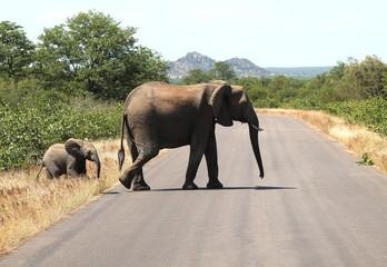 Overstekende olifant met haar kalf in Kruger National Park