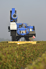 Mechanical harvesting of grapes in the vineyard