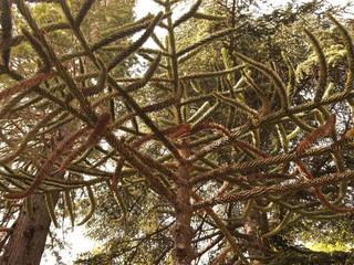 Araucaria, national tree of Chile
