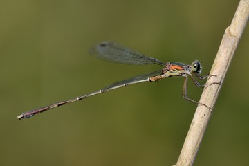 damigella (Lestes parvidens) posata su una canna palustre