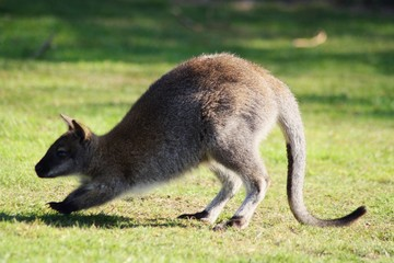 stunning adult wallaby in a field